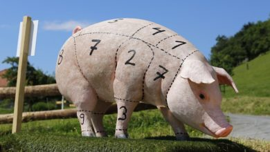 A pig/ swine that shows that pork is not allowed to eat according to the Dietary Law of the Bible